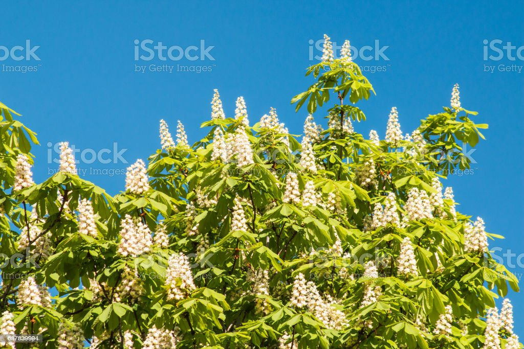 Flowering chestnut tree on blue sky background. stock photo