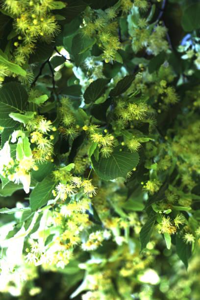 castagno in fiore - gigifoto foto e immagini stock
