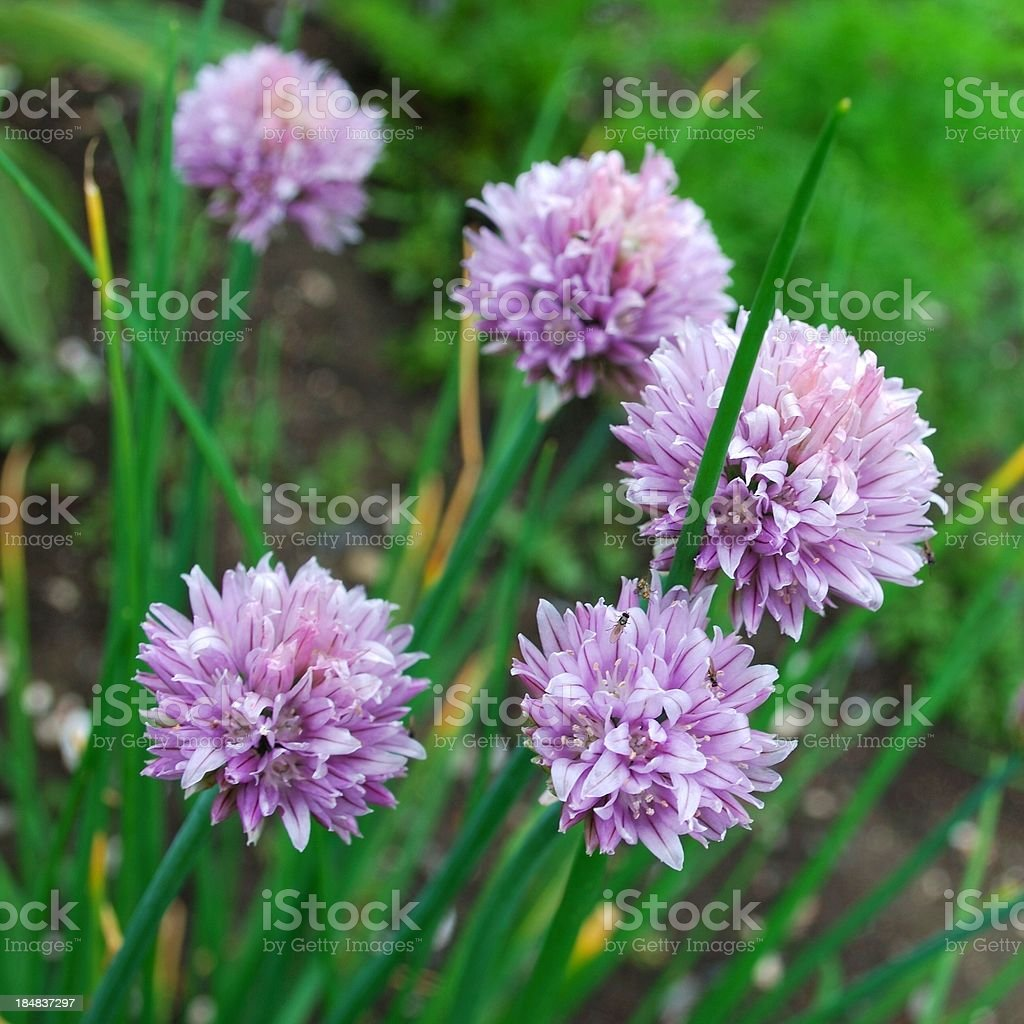 Flowering Chive Plant stock photo