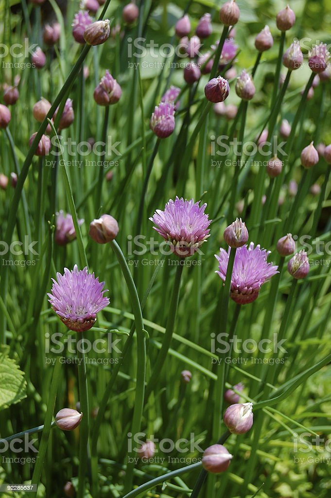 Flowering Chives royalty-free stock photo