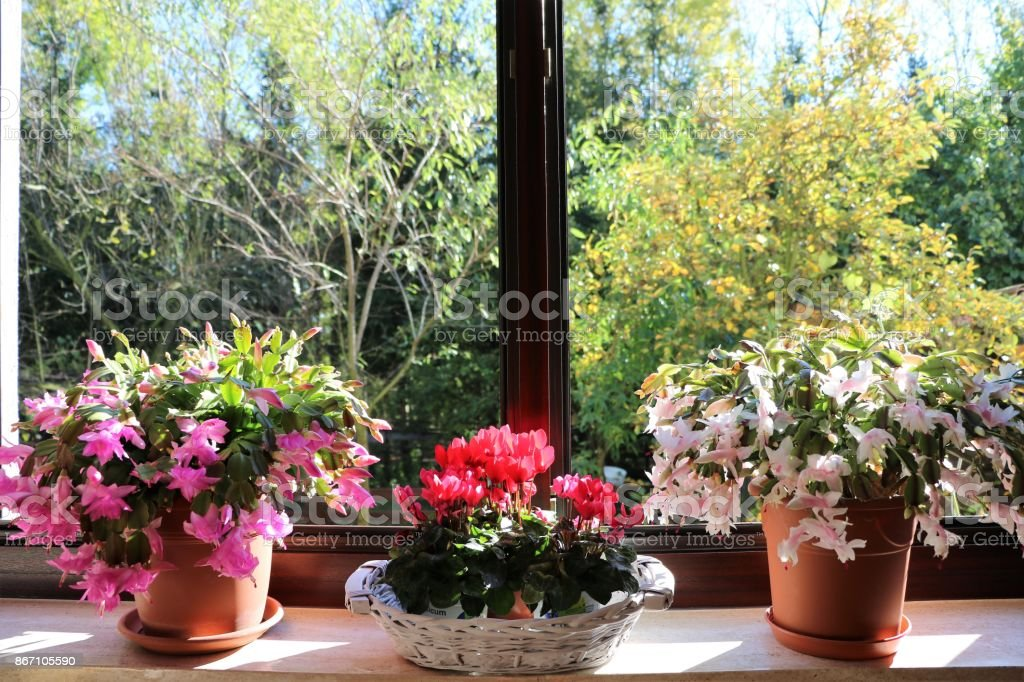Flowering Christmas cacti and Alpine violets on the window sill stock photo