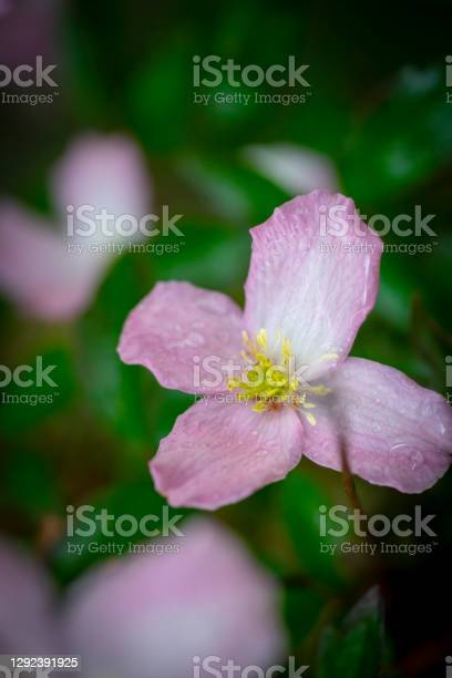 Flowering Clematis Montana Stock Photo - Download Image Now