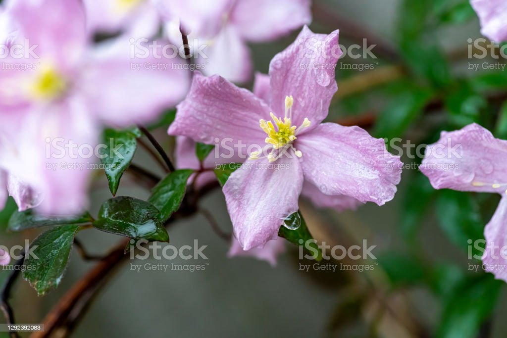 Flowering clematis Montana Flowering clematis Montana during a rain shower with droplets on the petals. Beauty In Nature Stock Photo