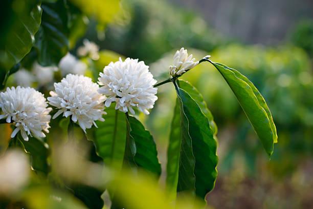 Flowering coffee tree picture id497212305?b=1&k=6&m=497212305&s=612x612&w=0&h=oxdsfxjkyovnaixnebzrzcu5rbbj5g9pwgcf1pqevaa=