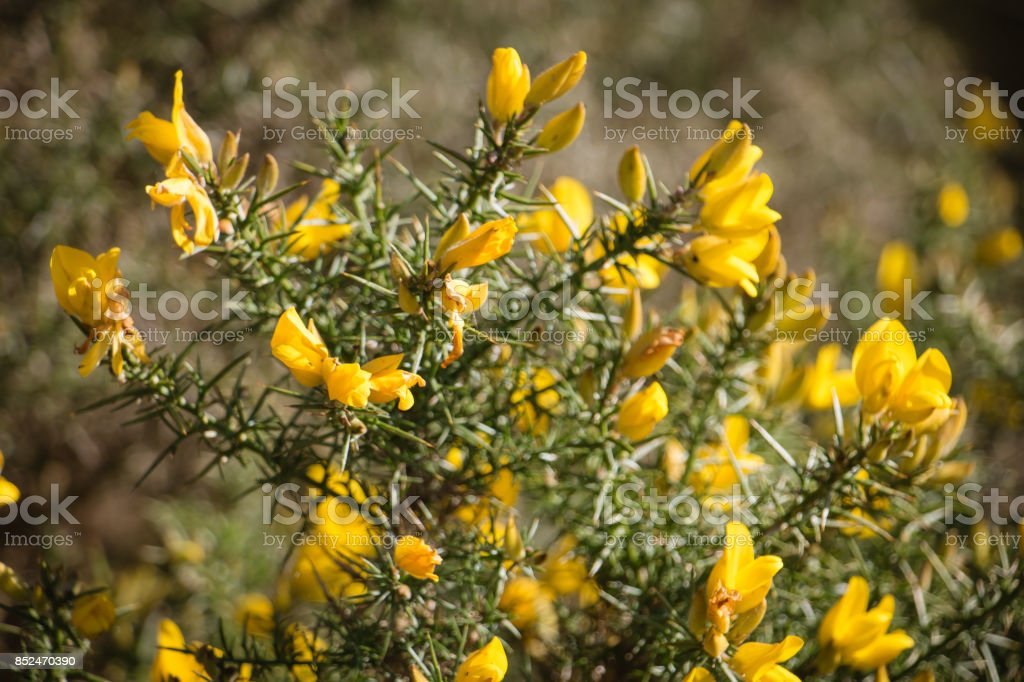 Flowering common gorse a spiky thorn covered plant with bright flowering common gorse ulex europaeus a spiky thorn covered plant with bright yellow mightylinksfo