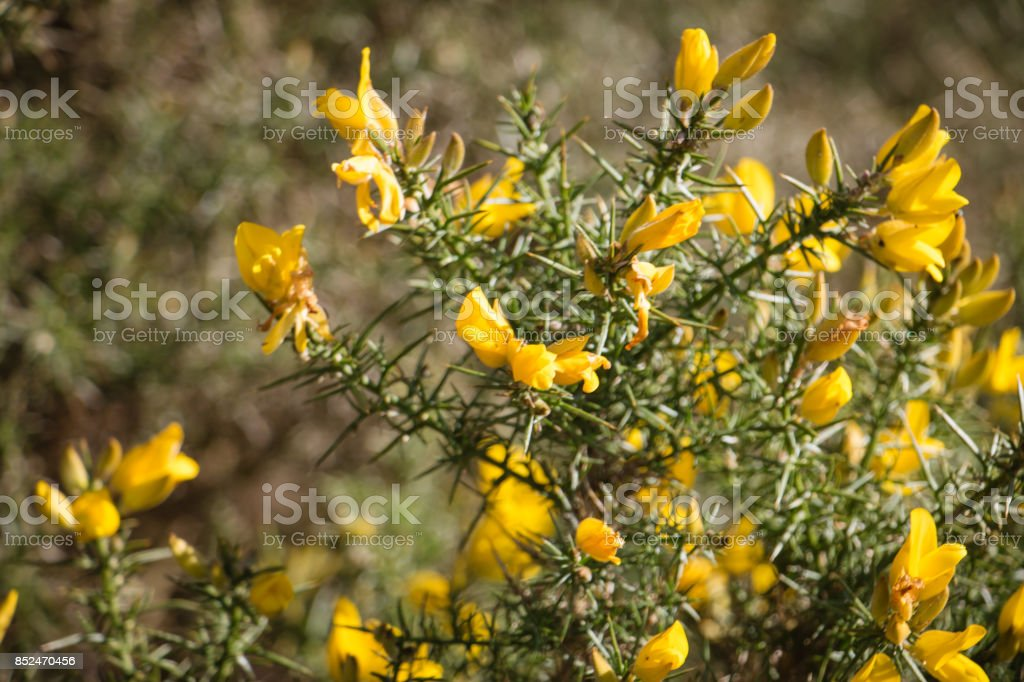 Flowering common gorse a spiky thorn covered plant with bright flowering common gorse ulex europaeus a spiky thorn covered plant with bright yellow mightylinksfo Gallery