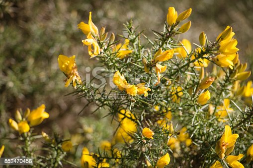 Flowering Common Gorse A Spiky Thorn Covered Plant With Bright