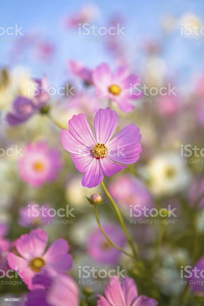 Flowering Cosmos royalty-free stock photo