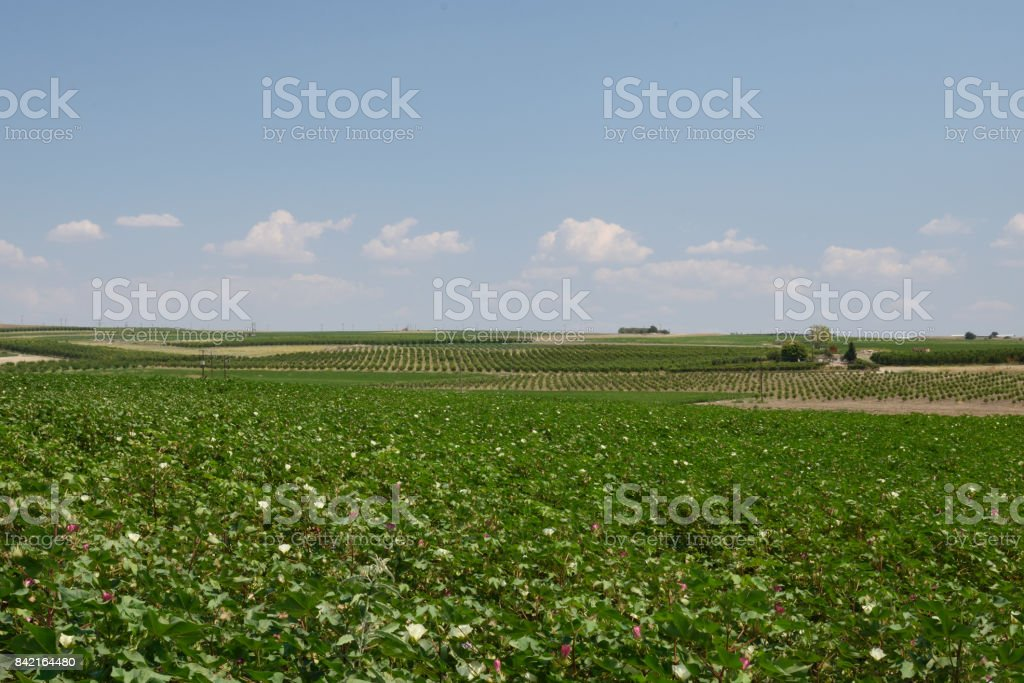 Flowering cotton field with pattern of wine and olive field in background stock photo