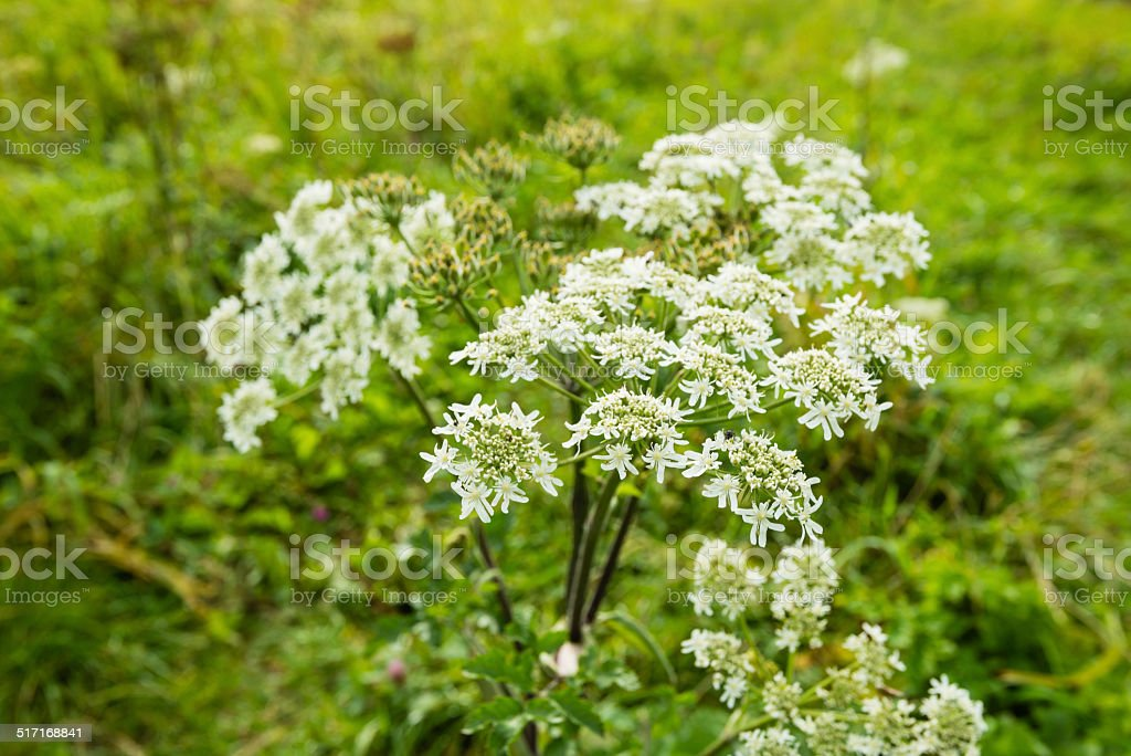 Flowering Cow Parsley from close stock photo