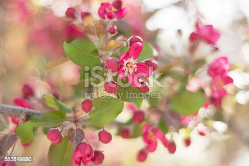 Horizontal outdoor spring garden shot of branch of flowering crab apple. Dark pink coloured blossoms with selective focus on one open flower. Background is mix of white, pink and green.