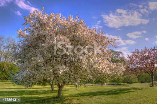 Flowering crab apple tree in Wisconsin during Spring with bright blue sky and fluffy clouds