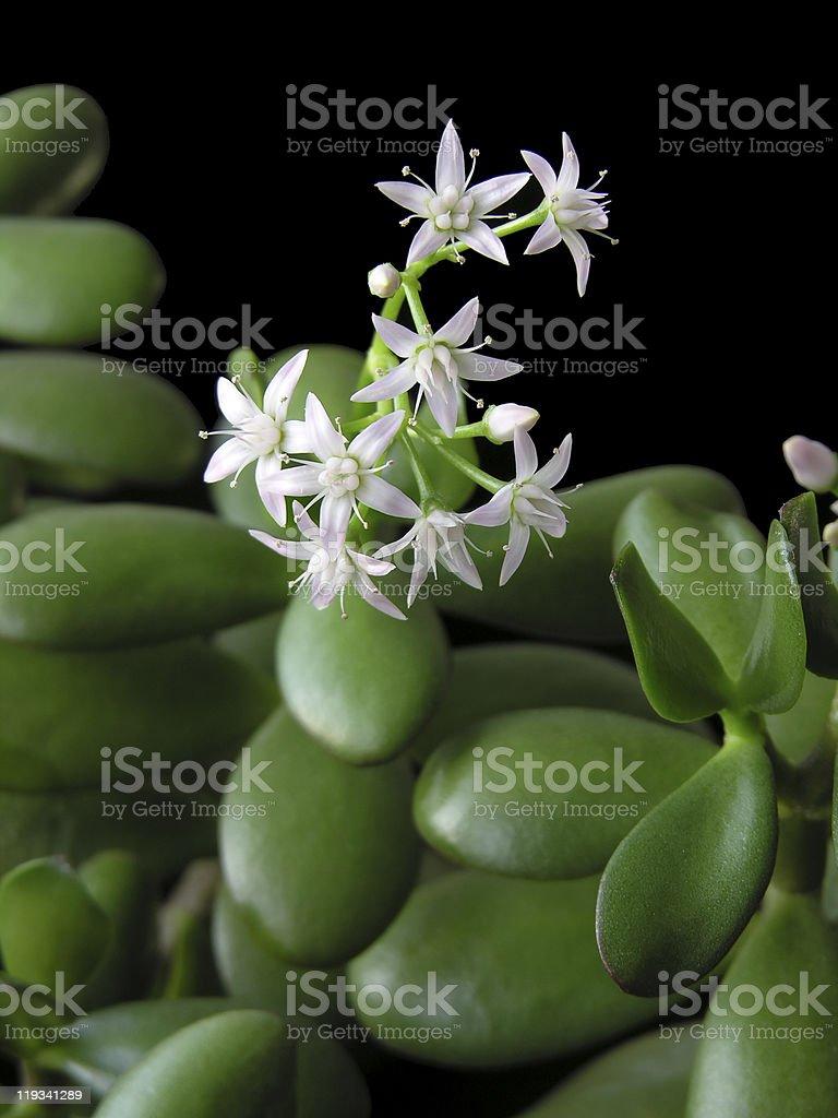 flowering Crassula Ovata - Money tree stock photo