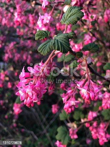 istock Flowering currant bush in a garden 1310729678