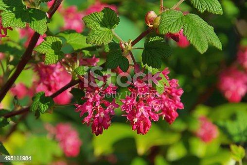 istock Flowering Currant 495111984