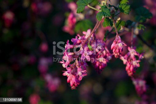 istock Flowering currant (Ribes sanguineum) shrub in flower in spring 1310656158