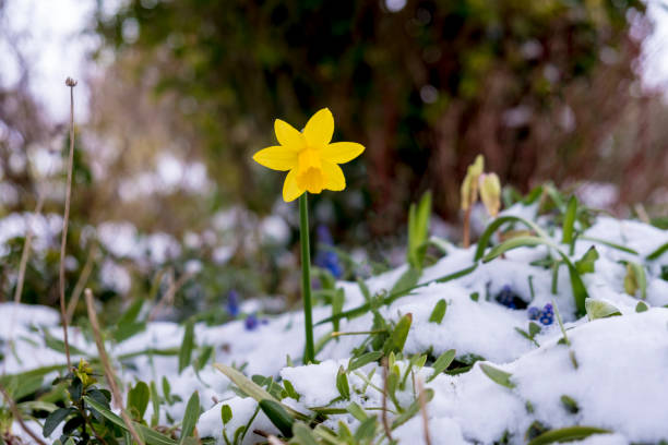flowering daffodil in the spring surrounded by snow - february stock photos and pictures