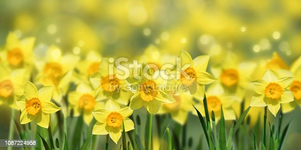 639245704 istock photo flowering daffodils in springtime 1087224958