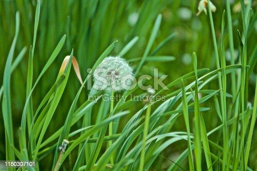 istock Flowering Dandelion 1150307101