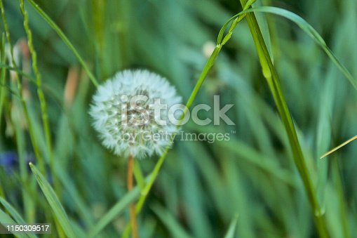 istock Flowering Dandelion 1150309517