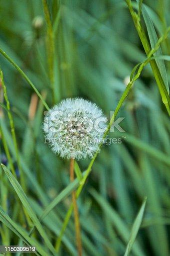 istock Flowering Dandelion 1150309519