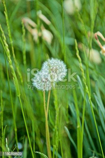 istock Flowering Dandelion 1150309523