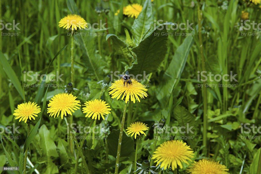 Flowering dandelion royalty-free stock photo