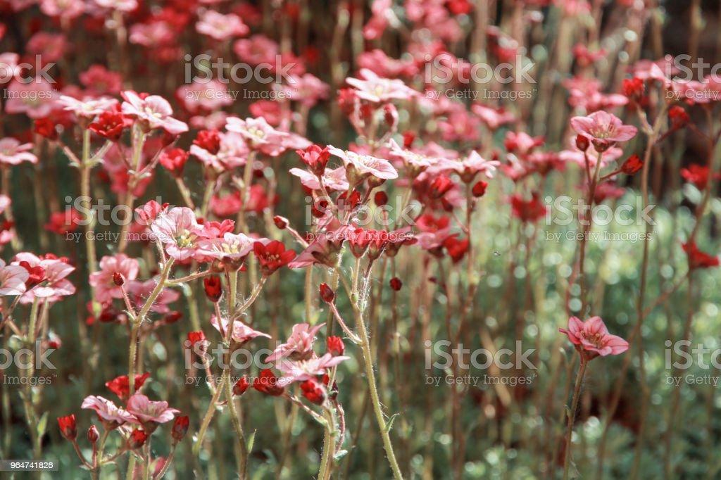flowering decorative moss royalty-free stock photo