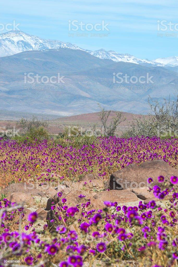 Flowering desert Atacama stock photo