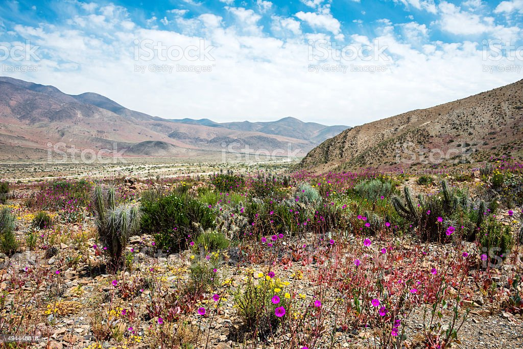 Flowering desert in the Chilean Atacama Desertama Desert stock photo