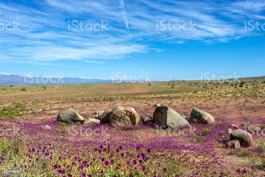 Flowering desert in the Chilean Atacama stock photo