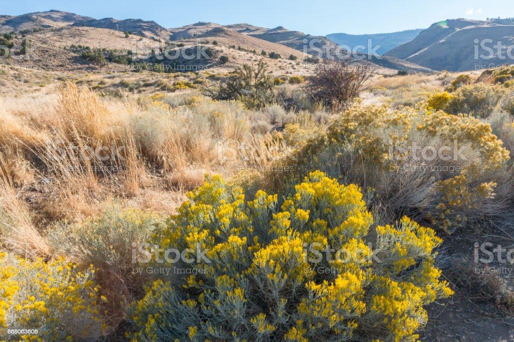 Flowering desert sagebrush stock photo