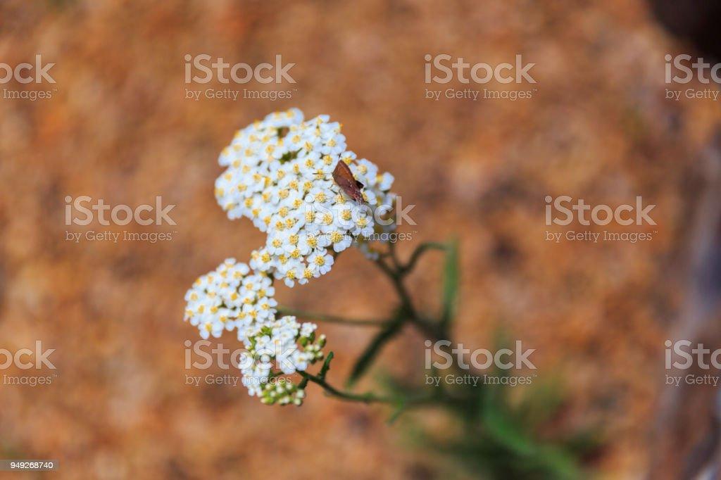 Flowering desert weed stock photo