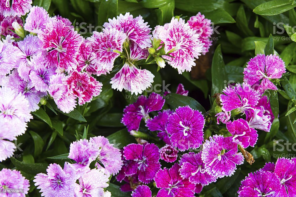 flowering dianthus stock photo