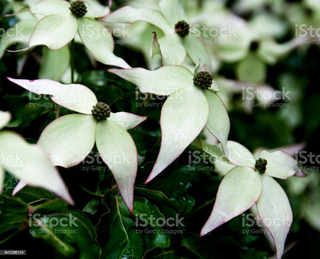 Flowering Dogwood blooms with magenta fringes and green leaves stock photo