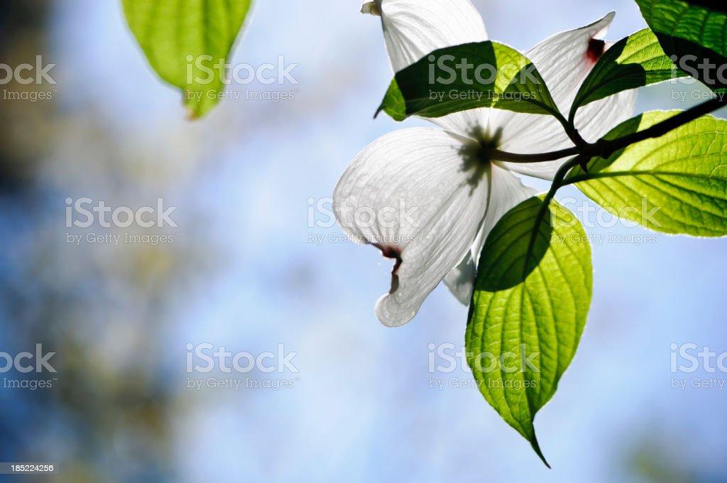 Flowering dogwood blossom stock photo