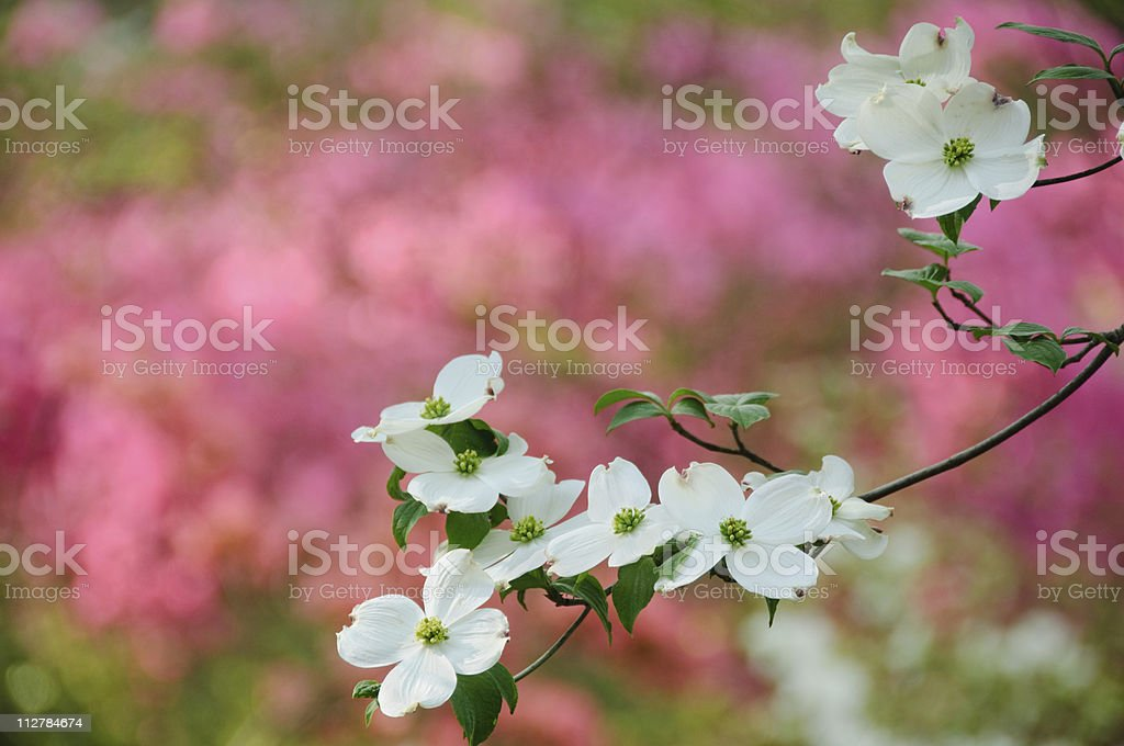 Flowering dogwood blossoms stock photo