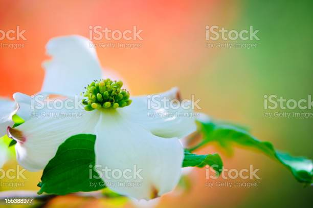 Flowering dogwood blossoms picture id155388977?b=1&k=6&m=155388977&s=612x612&h=vaianfrgflsdtmfzvttilencudx426h5pdixwyy26sc=