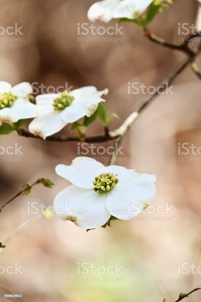 Flowering dogwood blossoms stock photo