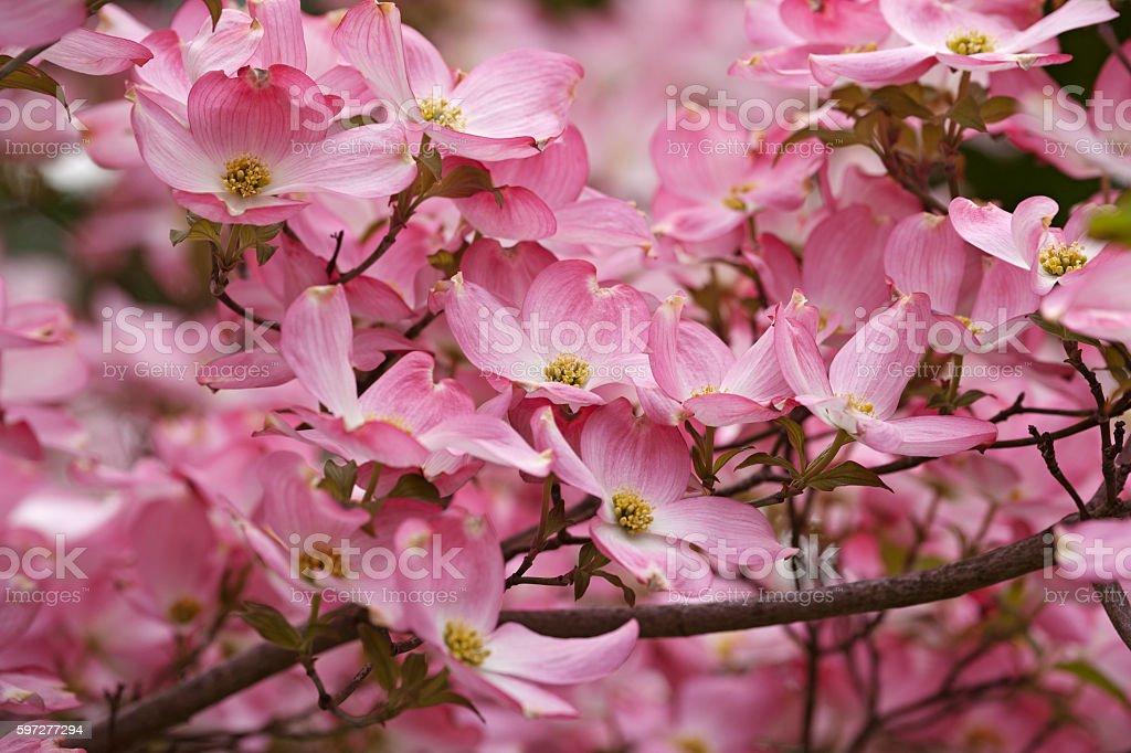 Amerikanischer Blumenhartriegel Blumen Stock-Fotografie und mehr ...