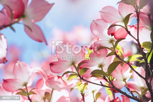 Closeup of the pink toned flowers, leaves and twigs of a Dogwood tree. Some patches of blue sky in background. Flowers seen from behind the translucent petals.