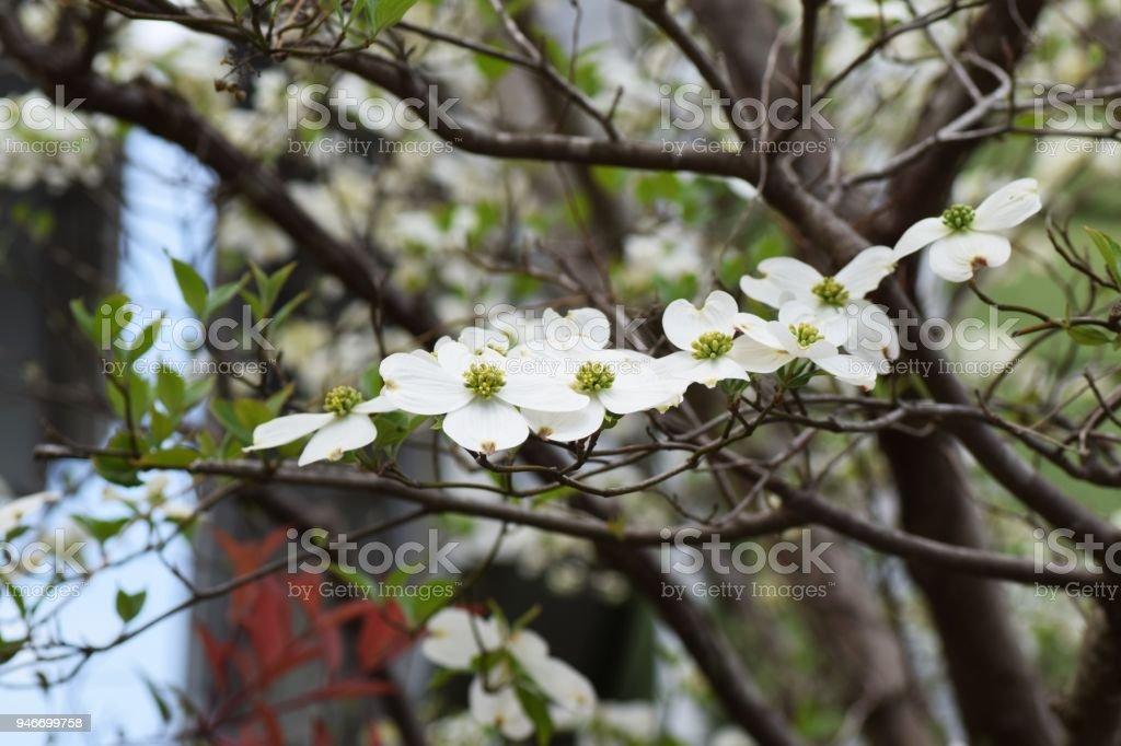Amerikanischer Blumenhartriegel Stockfoto Und Mehr Bilder Von