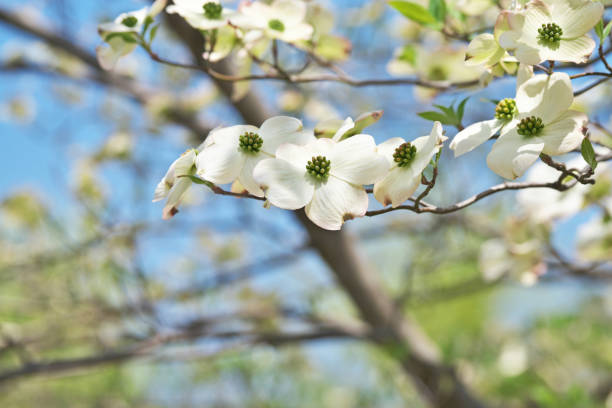 Amerikanischer Blumenhartriegel – Foto