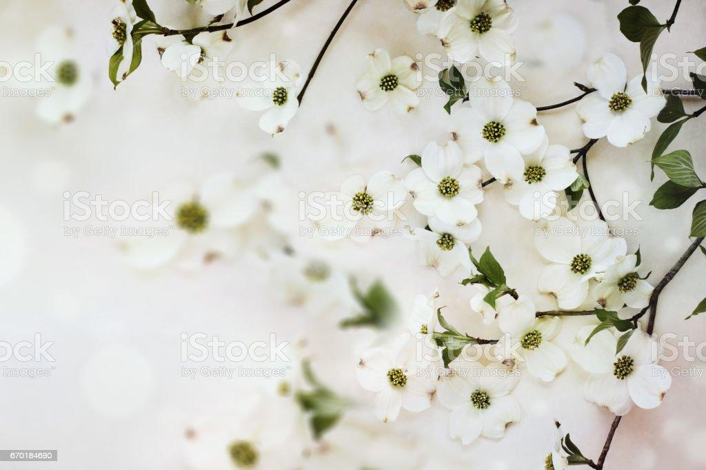 Flowering dogwood spring blossoms stock photo