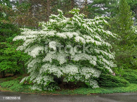 Mature white flowering dogwood tree in full bloom.