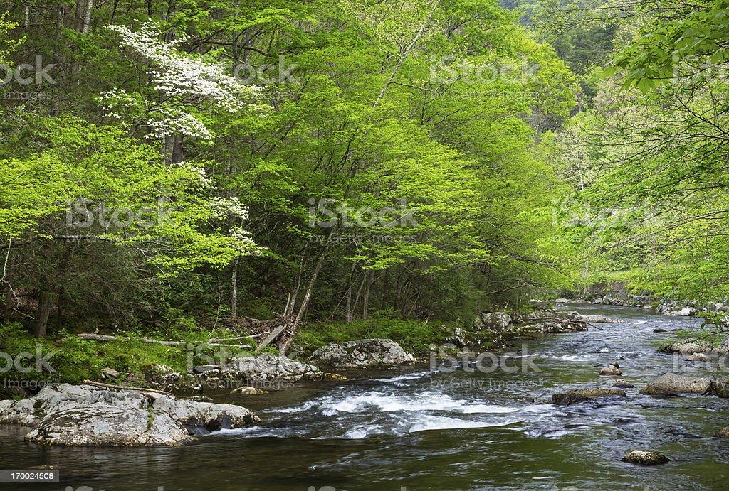 Flowering Dogwood Tree royalty-free stock photo