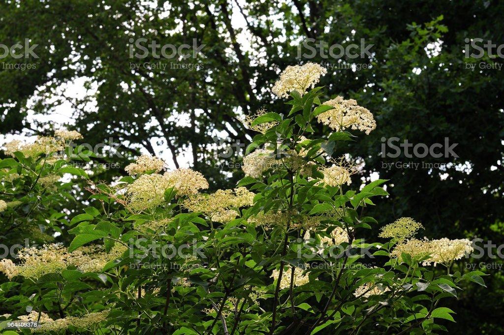 flowering elder tree - Royalty-free Blossom Stock Photo