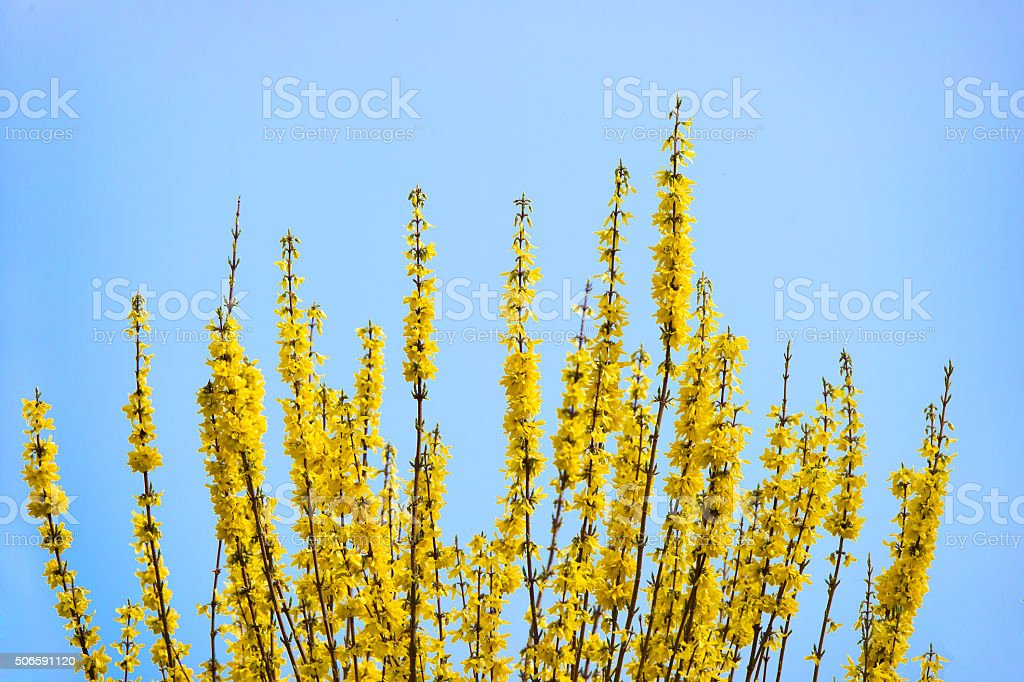 flowering forsythia branches against the blue sky stock photo