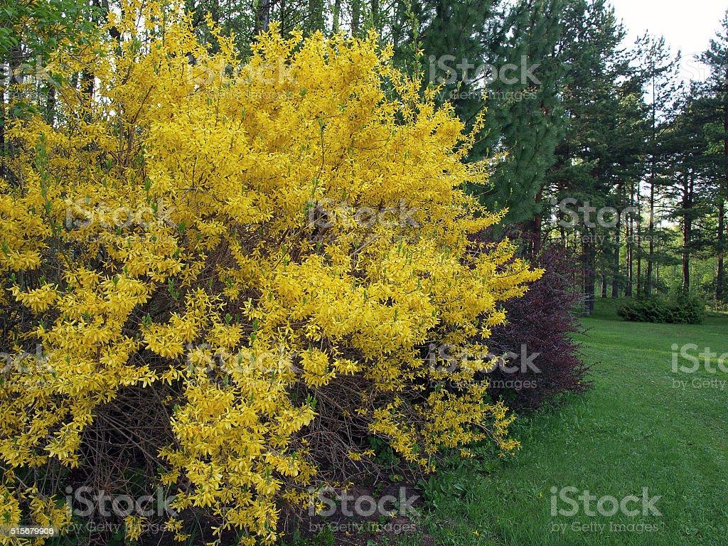 Flowering forsythia stock photo