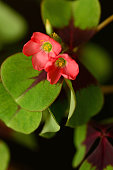 istock Flowering four leaf clover. 1315856507